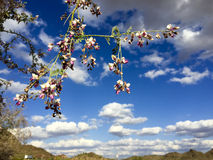 Purple Orchid Tree, Salome, AZ Stock Photos
