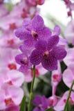 Purple orchid (Vanda coerulea) blossoming Stock Photo