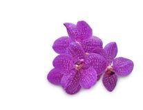 Purple orchid (Vanda coerulea) on white background Royalty Free Stock Photos