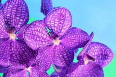 Purple orchid vanda flowers Stock Photos