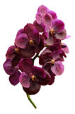 Purple orchid vanda isolated on white background Royalty Free Stock Photography