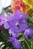 Purple orchid. A variety of exotic and colorful Orchid garden royalty free stock photography