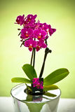 The purple orchid in vase Stock Image