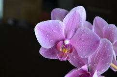 Purple orchid. With water drops Stock Photos