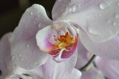 Purple orchid. With water drops Royalty Free Stock Photos