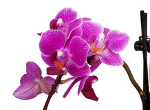 Purple orchid Royalty Free Stock Photography
