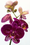 Purple orchid on a white background. Purple orchid branch on white background Royalty Free Stock Photography