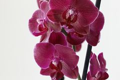 Purple orchid on white background royalty free stock images