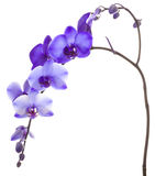 Purple Orchid on White Background. Purple Orchid Framing a White Background Stock Photos