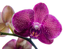 Purple orchid  on white. Royalty Free Stock Images