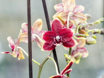Purple orchid at window, Orchidaceae, Phalaenopsis known as the Moth Orchid, abbreviated Phal Stock Photo