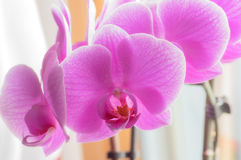 Purple orchid. Royalty Free Stock Image