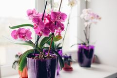 Purple orchid on windowsill. Home plants care royalty free stock images