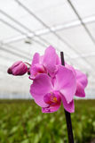 Purple orchidaceae in greenhouse Royalty Free Stock Image