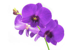 Purple Orchids. Purple orchid flowers against a white background stock images