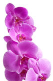 Purple orchids. Bright purple orchids white isolated Royalty Free Stock Image