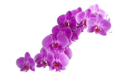 Purple orchids. Branch of bright purple orchids Royalty Free Stock Image