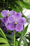 Purple orchids. In the park of thailand stock photography