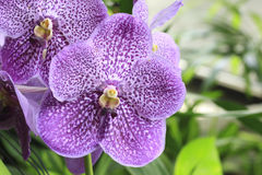 Purple orchids Royalty Free Stock Photos