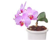 Purple orchids Royalty Free Stock Images