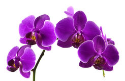 Purple orchids Royalty Free Stock Photography