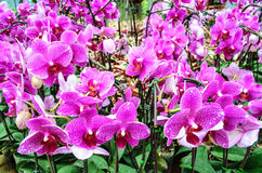 Purple orchids royalty free stock photo