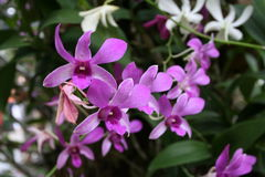 Purple orchids. In Thailand royalty free stock photos