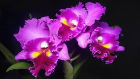 purple orchids on a black background Royalty Free Stock Photography