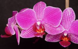 Purple orchids on a black background. Very beatifule Purple orchids on a black background in the morning Royalty Free Stock Photo