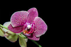 Purple orchids  on black Stock Images