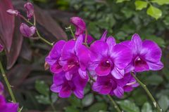 Purple orchids bloom Stock Photo