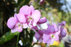 purple orchids are blossoming. royalty free stock image