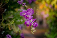 Purple orchids. With a blurry background in the park, orchids purple Is considered the queen of flowers, orchids is colorful of nature Royalty Free Stock Image