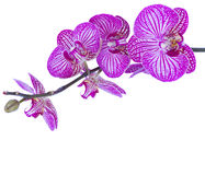 Orchid flowers  branch Stock Photography