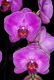 Purple Orchids Stock Image