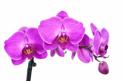 Purple orchids. Colorful purple orchids with white background.vintage, soft focus and lens blur stock image