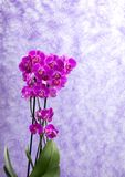 Purple orchids corsage Royalty Free Stock Image