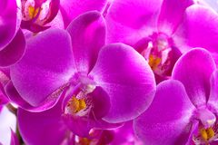 Purple orchids corsage Stock Photography