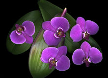 Purple Orchids Dark Background. Five vibrant purple orchids on wide green leaves sitting on a black lit background Stock Photos