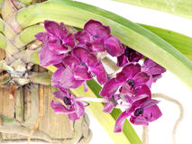 Purple orchids flower close up Royalty Free Stock Images
