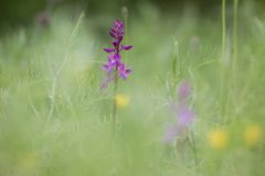 Purple orchids in flower field Stock Image