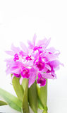 Purple orchids flower on white background and copy space. The Purple orchids flower on white background and copy space Royalty Free Stock Photos