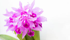Purple orchids flower on white background and copy space. The Purple orchids flower on white background and copy space Stock Photo