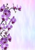 Purple Orchids. In full bloom on a pink and blue faded background Royalty Free Stock Images