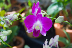 Purple orchids in a garden. Purple orchids blooming in a garden Royalty Free Stock Images