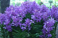 Purple Orchids Stock Photos