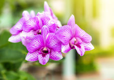 Purple orchids in garden, beautiful of violet fl Royalty Free Stock Images