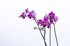 Purple Orchids in Garden Royalty Free Stock Photography