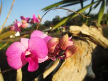 Purple orchids at the garden Royalty Free Stock Photography