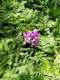 Purple Orchids Among Green Ferns Stock Images